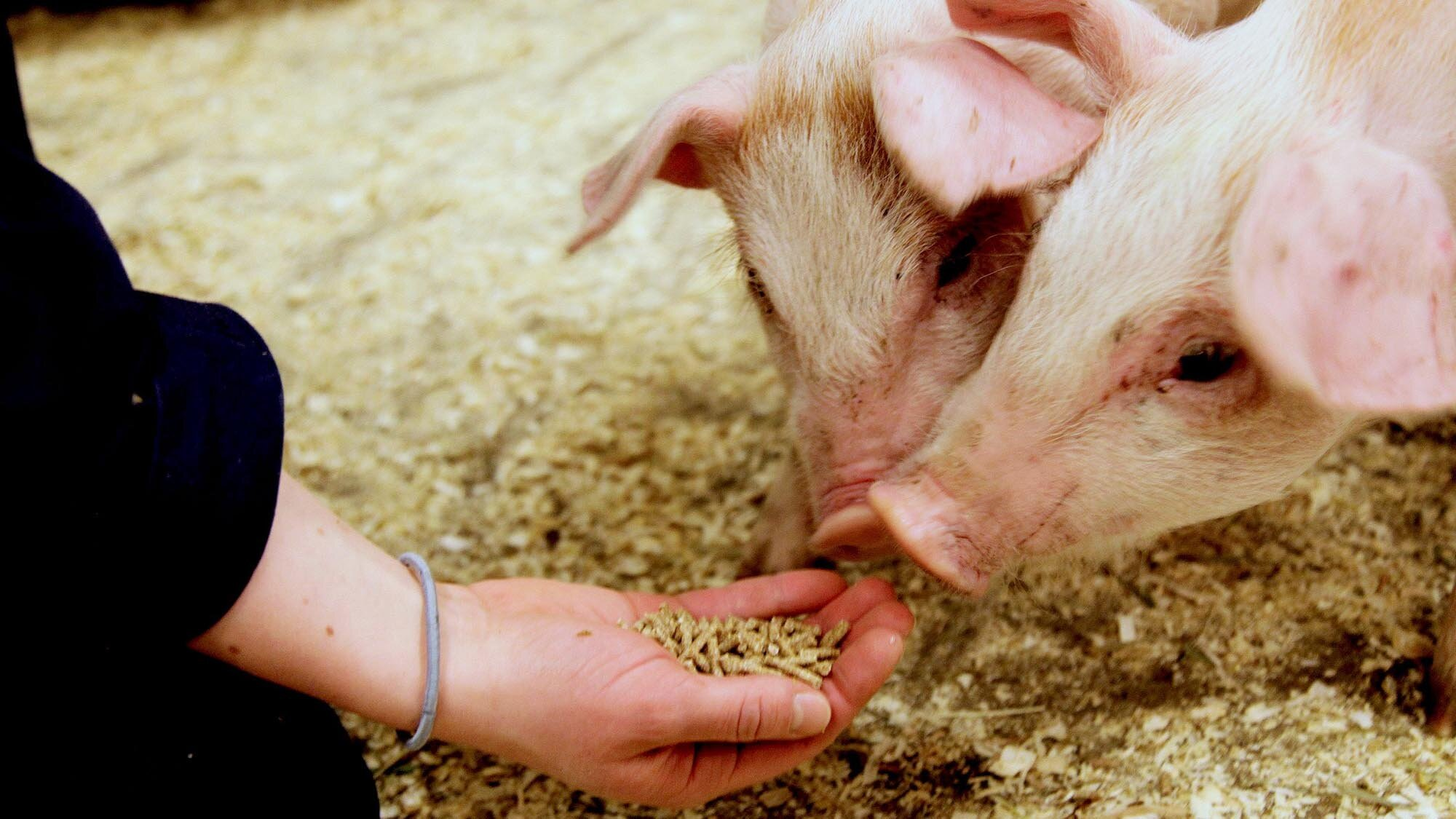 Pigs being fed with Foods of Norway pellets